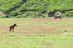 Horses grazing in the field near the hot springs
