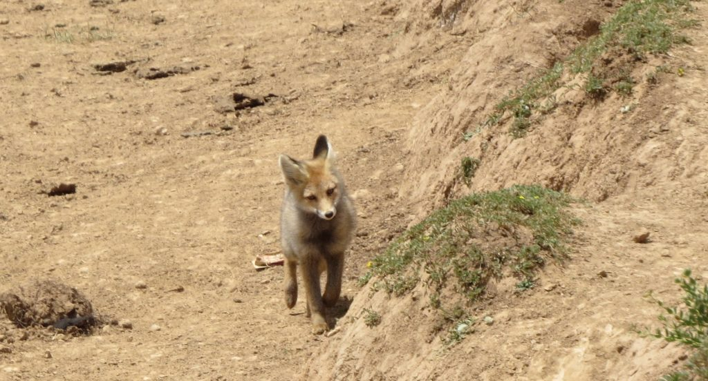 a fox at the retreat center